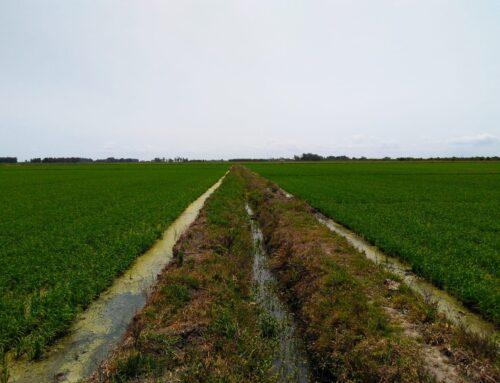 Estudo confirma benefícios do sulfato de cálcio granulado em lavouras de arroz irrigado