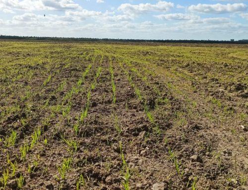 Produtores de arroz no RS apostam no condicionamento do solo para a safra 20/21