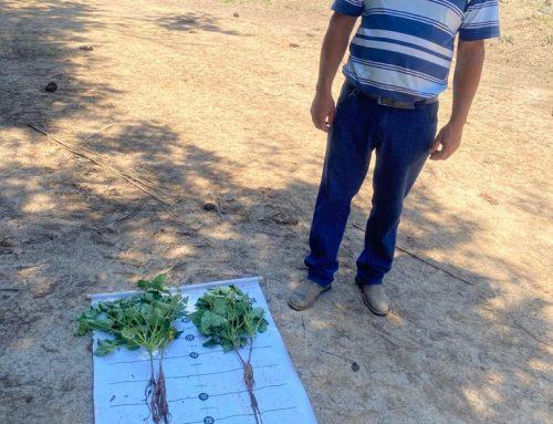 Tecnologia para o solo aumenta a produtividade no cultivo de feijão