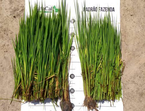 Produtores de arroz testam tecnologia desenvolvida no litoral catarinense