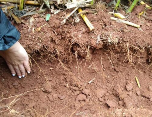 Cobertura do solo no inverno reflete numa safra de verão mais produtiva